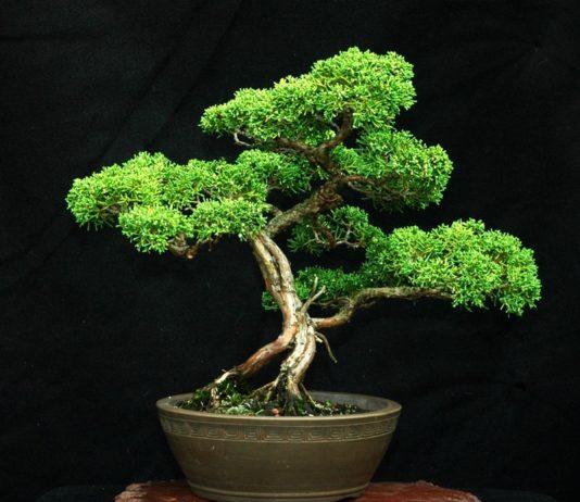O bonsai se destaca pela força da raiz / Imagem: Divulgação